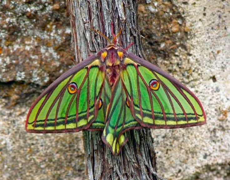Reproducción de las mariposas isabelinas