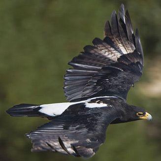 Aquila verreauxii (Verreauxs' eagle, Black eagle)               Witkruisarend