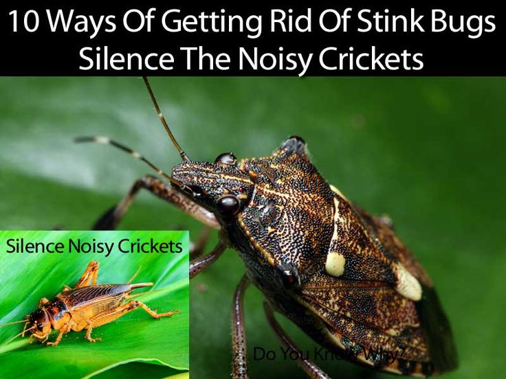 10 images about stink bugs on pinterest - How to get rid of stink bugs in garden ...