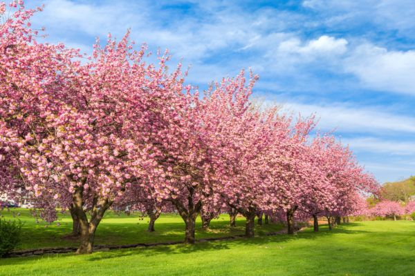 10 Interesting Facts About Cherry Blossoms You Didn T Know Farmers Almanac