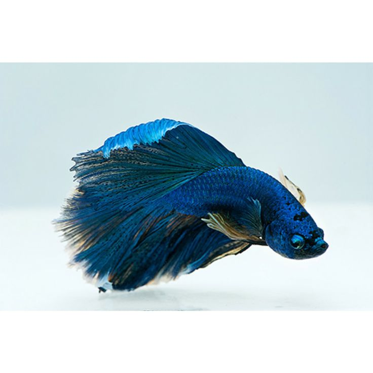 17 best images about bettafish on pinterest copper for Dragon scale betta fish