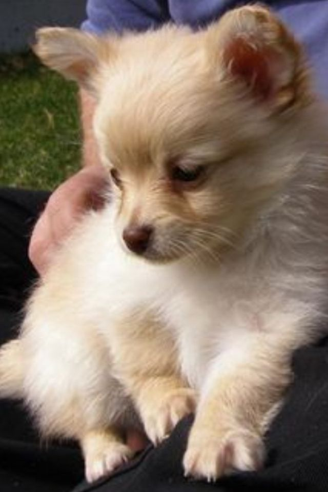 Pomchi. Chihuahua and Pomeranian mix! ❤
