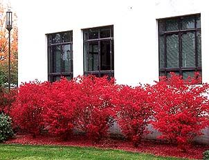 Dwarf burning bush in the fall- excellent color!! It prunes well so it makes a great landscaping shrub that looks nice up next to a home or building- or free set in the landscape.