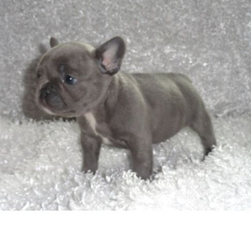 Baby Blue French Bulldog Pets Puppies Kittens And More