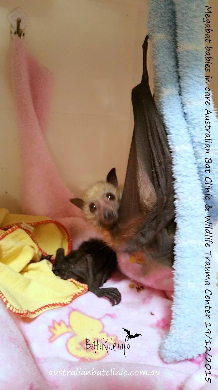 Megabat babies in care Australian Bat Clinic & Wildlife Trauma Center 19/12/2015  Australian Bat Clinic  facebook.com/australianbatclinic...
