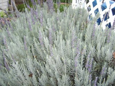 A lot of gardens around my neighbourhood have lavender shrubs. At the moment the lavender is in bloom and gives off an amazing fresh and calming smell. I often will take a small sprig and put it in my pocket so I have the scent for the rest of the day