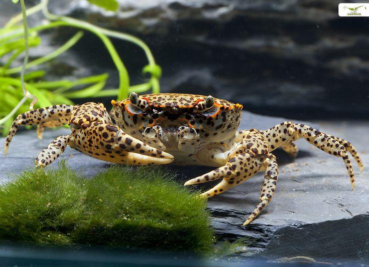 #Freshwater #Crab : Chinesiche Pantherkrabben ...