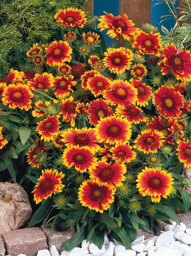 использовании цветы на букву г садовые фото активном