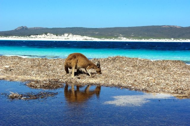 See kangaroos on the beaches of Cape Le Grand National Park on the south coast of Western Australia