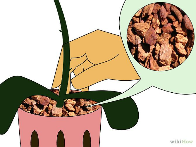 Care for Phalenopsis Orchids (Moth Orchids) Step 3.jpg
