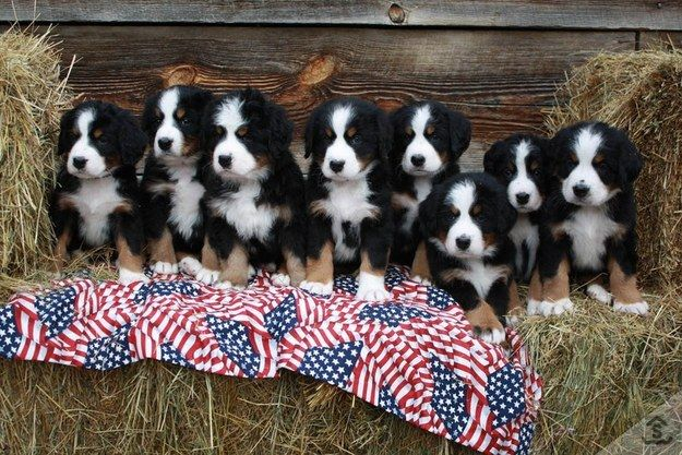 I want one. NO. I've changed my mind, I want 'em all. | Community Post: 19 Bernese Mountain Puppies Who Just Want To Make Your Day Better