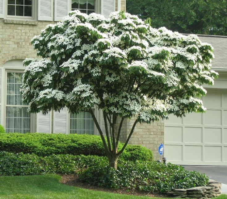 Japanese White Flowering Dogwood (Cornus kousa) The perfect patio tree: attractive white flowers last up to four weeks from June to July, multi-stemmed, tiered branches, grows to about 15' tall, red leaves in fall color, pretty, exfoliating bark, edible strawberry-type fruits, full or part sun, hardy to -25