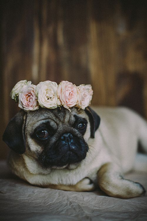 Cute pug with a wreath of flowers