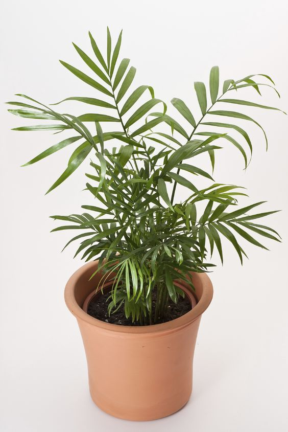Best 25+ Indoor trees low light ideas on Pinterest | House plants ...