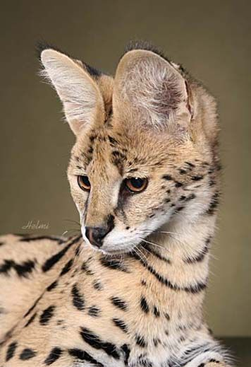 Savannah & Bengal Cats and Kittens for sale - Urban Safari Cattery