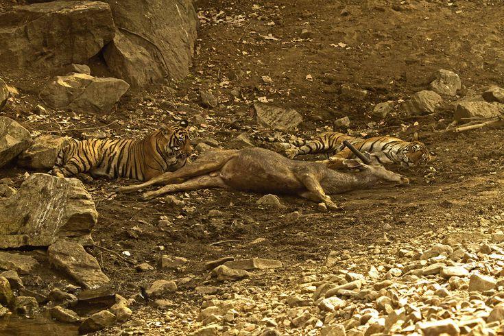 Mom & Son by Raghupathi K.V. on 500px || tigress and cub with sambar deer