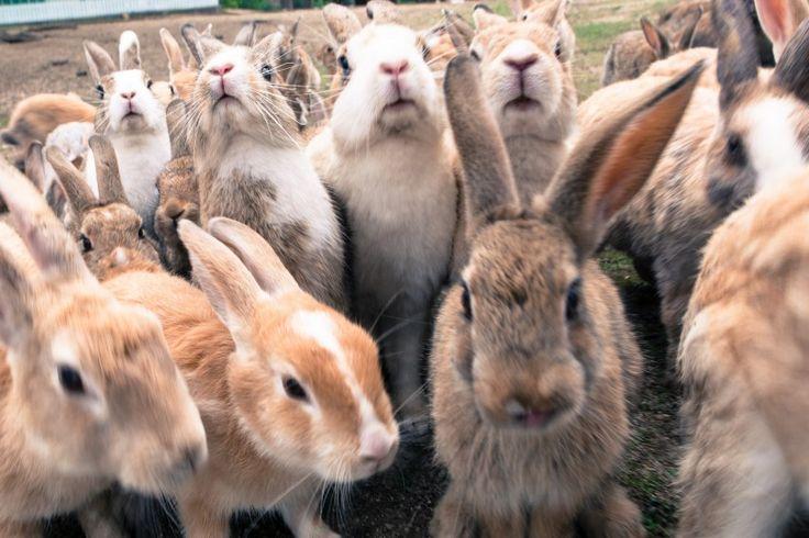 """Paradise of Rabbits in Hiroshima!? – """"Okunoshima"""" a small island located in Seto Inland Sea-"""