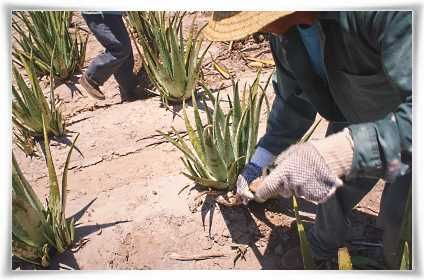 Farmers Hand Cultivating Forever Living's Aloe barbadensis Miller Plants #StabilizedAloeVera #AloeVera #ForeverLivingProducts