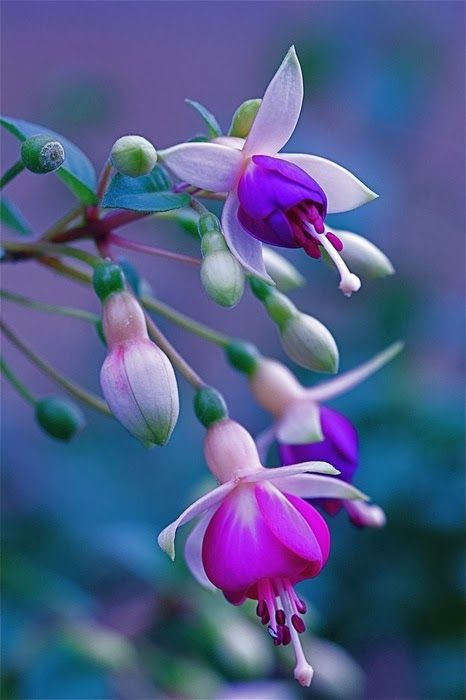 Fuchsia | A1 Pictures