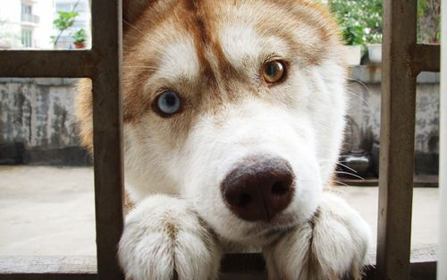 Awwwww!  Husky puppy: Animal Pics, Animal Pictures, Cutest Dogs, Eye Colors, Siberian Husky, Brown Eye, Blue Eye, Dogs Photos, Difference Colors Eye