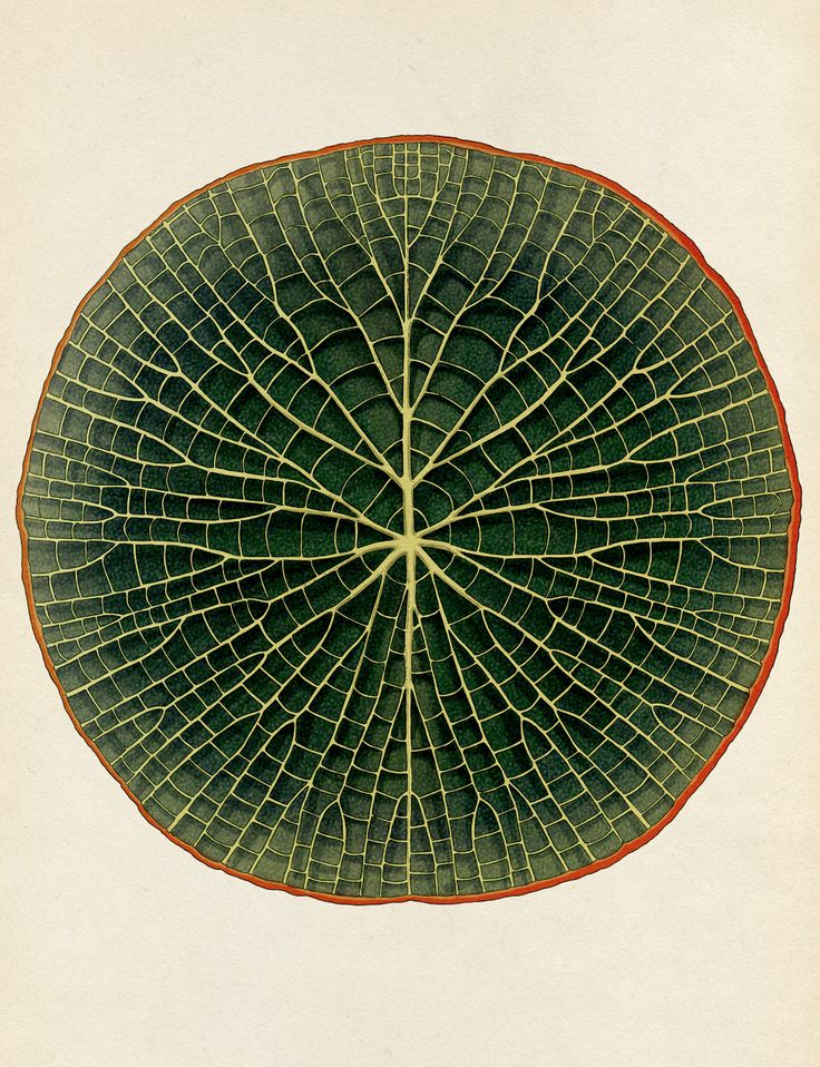 """katie-scott: """" Giant Waterlily, from Botanicum. Publishing Sept 16 with Big Picture Press. In association with Kew Gardens. By Katie Scott & Kathy Willis """""""