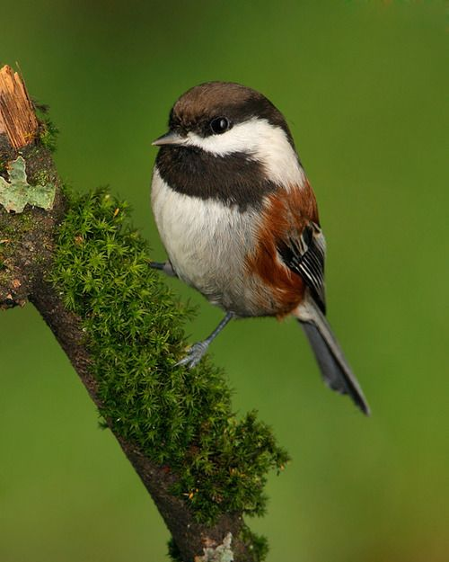 The Chestnut-backed Chickadee - Poecile rufescens, is a small passerine bird. It is found in the Pacific Northwest of the United States and western Canada, from southern Alaska to southwestern California.