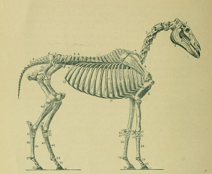 Horse skeleton. Veterinary Medicine, Animal Castration, Surgery and Obstetrics Simplified. 1890.