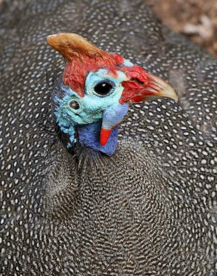Guinea Fowl - Christian Boix. South Africa.