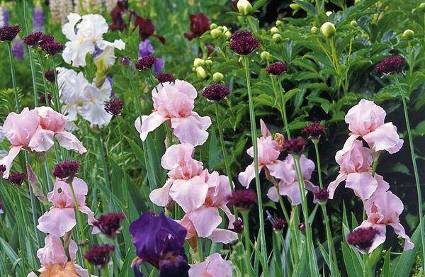die besten 17 ideen zu bl hende str ucher auf pinterest str ucher lila pflanzen und blumengarten. Black Bedroom Furniture Sets. Home Design Ideas