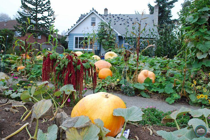 A pumpkin patch in Seattle? Yep! You can find it in Magnolia.