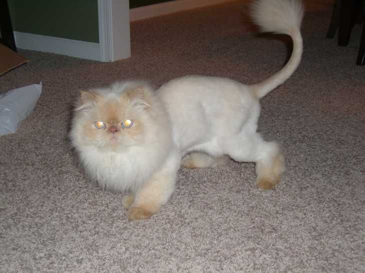 Cat persian shaved