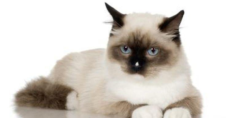 Cómo identificar un gato de angora. Los gatos de angora son identificables por algunos rasgos físicos. Si quieres comprar un gato de angora que sea de raza y deseas que sea un pura sangre, debes conocer los rasgos de identificación para asegurarte que estás adquiriendo un verdadero gato de angora. Si te dejas engañar, y el gato tiene más de una raza (o ni siquiera es un gato de ...