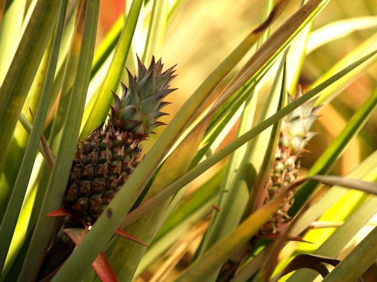 Pineapple at the plantation on O'ahu.