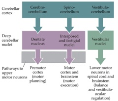 Projections from the cerebellum: Cerebrocerebellum- Premotor cortex (motor planning) Spinocerebellum- Motor cortex Vestibulocerebellum- Area for balance
