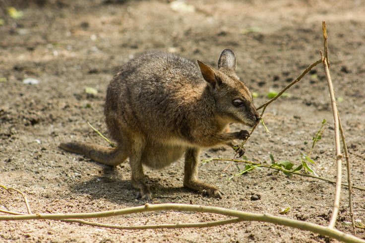 Derby kenguru. Tammar wallaby.