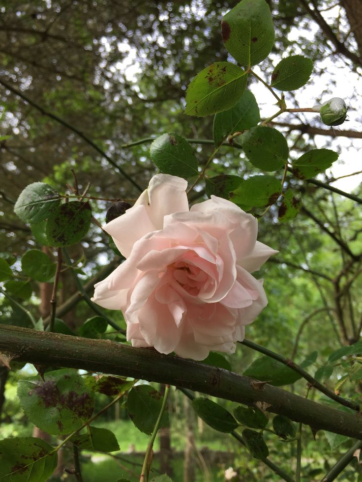 The rose blooming outside the kitchen