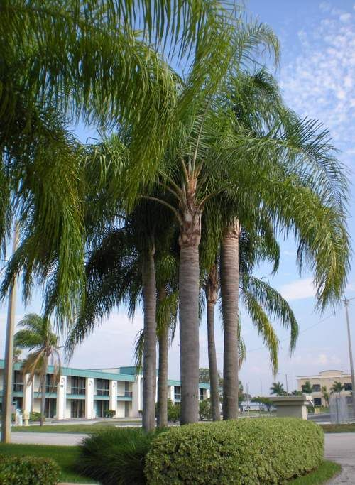 Types Of Palm Trees | Queen palms