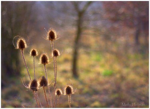 Autumn Teasels