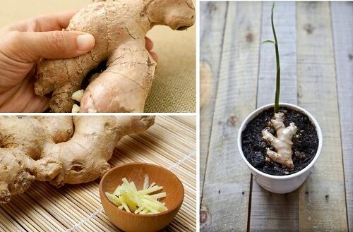 grow your own ginger at home