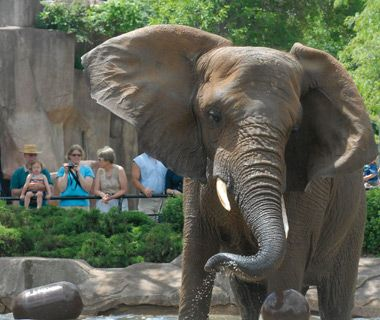 Fancy African Elephant at Milwaukee County Zoo