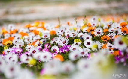 Spring Flowers - Namakwaland / West Coast flowers