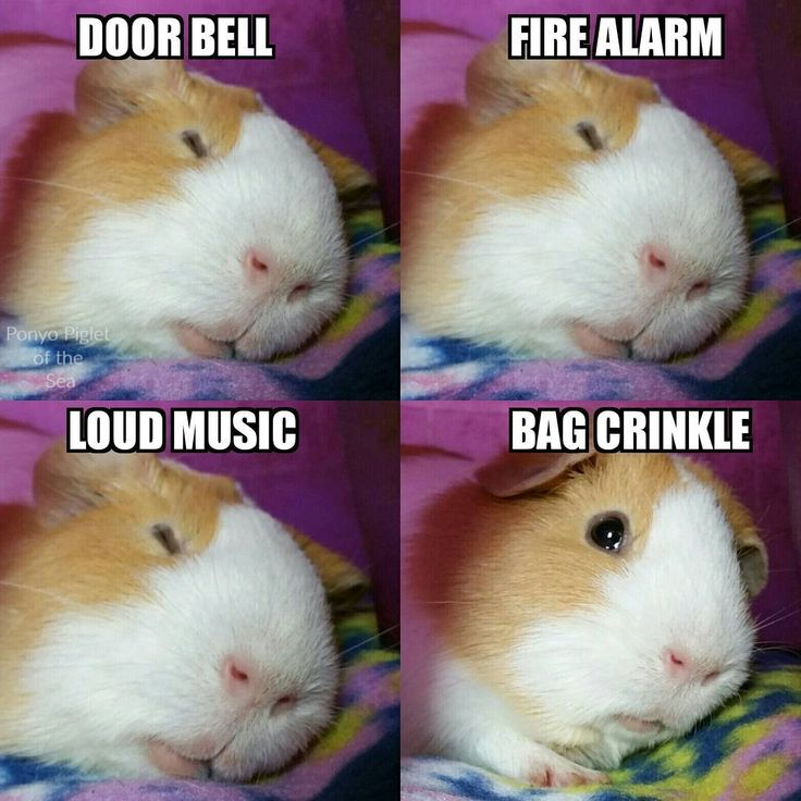 Ponyo The Guinea Pig Reactions By ponyopigletofthesea - (instagram)