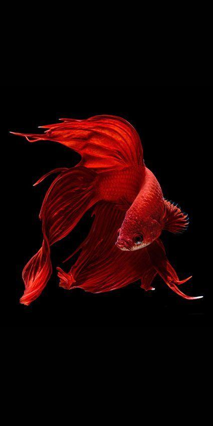 Les plus beau poissons ; les poissons combattant