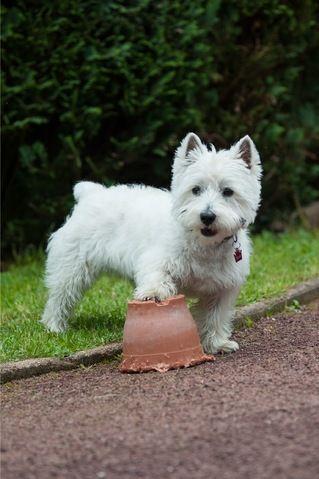 Hercule Des Petits Ecossais, chien West Highland White Terrier