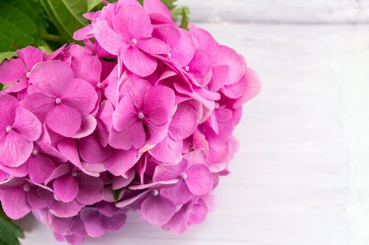fiori di ortensia rosa