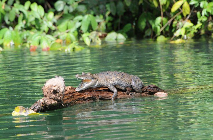 Crocodile basks on Gatún Lake. Image by Nancy Nehring / Photodisc / Getty