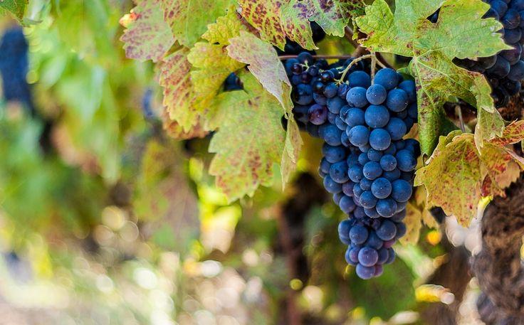 Виноградные лозы Прованса, Franck Scuotto.