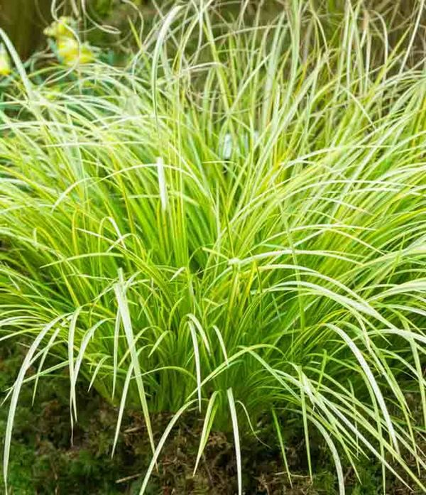 Ideal For Wet Areas Acorus Gramineus Ogon Golden Variegated Sweet Flag Is A Semi Evergreen Herbaceous Perennial Forming A Shade Plants Acorus Shade Garden