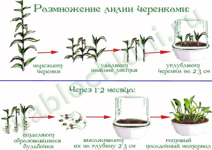 Размножение цветов черенкованием — 6 соток