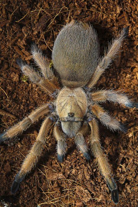 rhamphotheca:    theraphosa: Rio Grande Gold Tarantula (Aphonopelma moderatum)